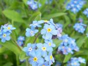 Deutsch: Vergissmeinnicht (engl. forget-me-not)