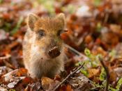 English: A baby Wild Boar (Sus scrofa) in a wildlife park in the Netherlands Français : Marcassin (Sus scrofa) dans une réserve faunique au Pays-Bas