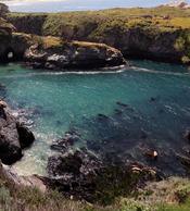 English: Harbor seals, Phoca vitulina at Point Lobos