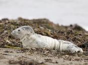 Harbor Seal Pup, Villa Creek, Estero Bluffs, Cayucos, CA  baby-harbor-seal-villa-creek-9702wmax