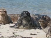 Harbor seals at La Jolla, CA