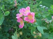 Rosa arkansana, the Wild Prairie Rose. In flower bed outside the Department of Biology, University of North Dakota.