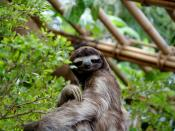 English: Three toed sloth at the Dallas World Aquarium