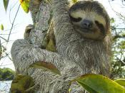 Three-toed-sloth (Bradypus variegatus), Lake Gatun, Republic of Panama. Français : Paresseux à gorge brune (Bradypus variegatus), Lac Gatun, République de Panama.