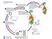 Life cycle of T. solium. Click the image to see it full-size