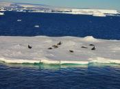 English: Antarctic fur seals resting on an iceberg. Picture taken on route to Seymour Island, Antarctica.