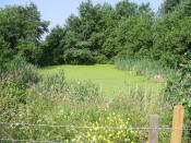 English: A duckweed covered pond near the River Stour