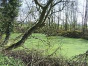 English: Pond covered with Duckweed, near Westcroft, Staffordshire I have seen many pools in recent weeks, but this is the first one with ANY duckweed, let alone a 100% covering - and this early in the year. Has nutrient contamination caused this here?