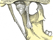 Articulation of the mandible. Medial aspect.