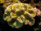 English: Meandrina meandrites (Maze Coral) Français: Corail (Meandrina meandrites)