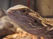 Karenin, the Bearded Dragon