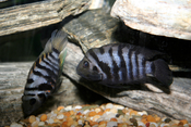 Convict Cichlids. Female on the left, Male on the right.