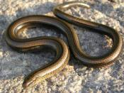 Lizards have evolved limbless forms on a number of occasions. The legless lizard shown above is known as a slowworm (Anguis fragilis).