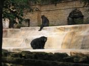 Ursus americanus americanus, Henry Vilas Zoo, Madison, Wisconsin