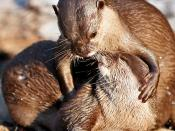 English: A pair of otters.