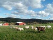 English: Farm Sanctuary