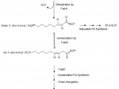 English: Formation of unsaturated fatty acids by anaerobic desaturation.