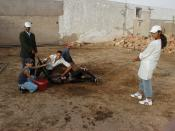 field mule castration (Morocco) : physical restraint
