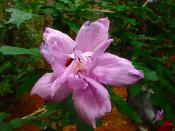English: Rose of Sharon