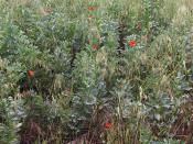 Poppies and legumes - geograph.org.uk - 890090
