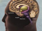 English: Drawing of the human brain, from the publication