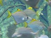 Monodactylus argenteus are popular aquarium fish.