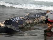 English: A beachcomber is looking at the marks of great white shark bites on a beached whale. Français : Un passant regarde les morsures de requins blancs sur le corps d'une baleine échouée.