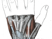 The mucous sheaths of the tendons on the back of the wrist. (Extensor indicis proprius visible going into second digit.)