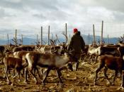 Sami reindeer herder in Sweden. Original caption: Just another day at work