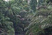 English: Tropical rainforest in Gabon, Central Africa