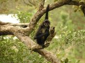 Geoffroy's Spider Monkey, also known as Black-handed Spider Monkey, at Belize Zoo, Belize.