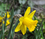 English: Daffodil (Narcissus) Nederlands: Narcis (Narcissus) Français : Narcisse (Narcissus)