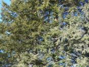 Eastern Hemlock Tsuga canadensis specimens at Morton Arboretum