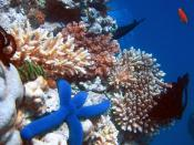 English: A Blue Starfish (Linckia laevigata) resting on hard Acropora coral. Lighthouse, Ribbon Reefs, Great Barrier Reef