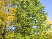 de: Weißesche (Fraxinus americana) im Neuen Botanischen Garten Marburg, Hessen, Deutschland en: White Ash (Fraxinus americana) in the New Botanical Garden Marburg, Hesse, Germany