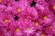 English: Chrysanthemums
