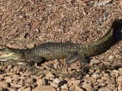 fresh water crocodile3