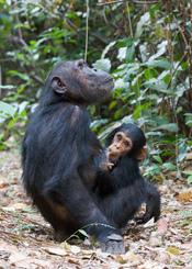 Deutsch: Adulte weibliche Schimpansin (Pan troglodytes schweinfurthii), am Boden sitzend mit Jungtier, Gombe Stream National Park