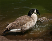 English: Canada Goose in Golden Gate Park