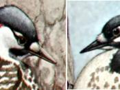 Red-cockaded Woodpecker, Picoides borealis, detail--heads of male (left) and female (right), offset reproduction of painting (watercolor?)
