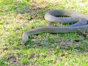 Pseudechis australis, aka the King Brown Snake or Mulga Snake is a venomous snake found in Australia. It is the second largest venomous snake in Australia (after the Taipan) and produces large amounts of venom. Although the name implies it is a brown snak