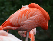 Sleeping Caribbean Flamingo at the Metro Toronto Zoo