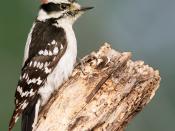 A male Downy Woodpecker, in Poquott, Long Island, New York, USA. Français : Un Pic mineur (Picoides pubescens) mâle. Photo prise à Poquott, sur l'île de Long Island (État de New York, États-Unis).