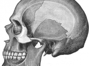 Human skull, adapted from Gray's Anatomy public domain image