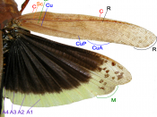English: The wing structure and venation found in grasshopers.