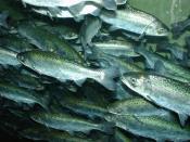 English: Chinook salmon, Oncorhynchus tshawytscha