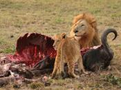 Male Lion (Panthera leo) and Cub eating a Cape Buffalo in Northern Sabi Sand, South Africa. Italiano: Leone maschio (Panthera leo) e un cucciolo mentre mangiano un Bufalo nel Nord di Sabi Sand in Sud Africa.