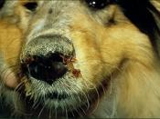 English: Dog suffering from Canine distemper Français : Chien atteint de la maladie de Carré Deutsch: An Staupe erkrankter Hund