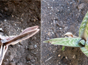 English: Some xerophytes will reduce the surface of their leaves during water deficiencies (left). If temperatures are cool enough and water levels are adequate the leaves expand again (right).
