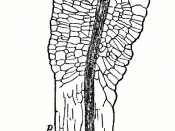 Section through a pulvinus in Oxalis rosea
